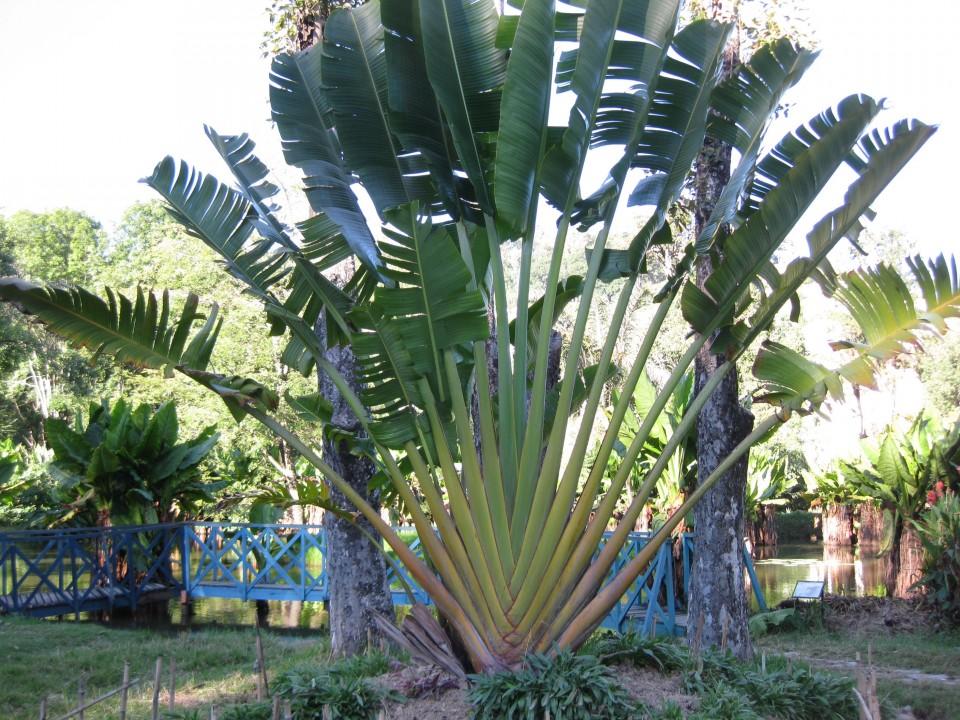 Ravinala - palma pielgrzyma