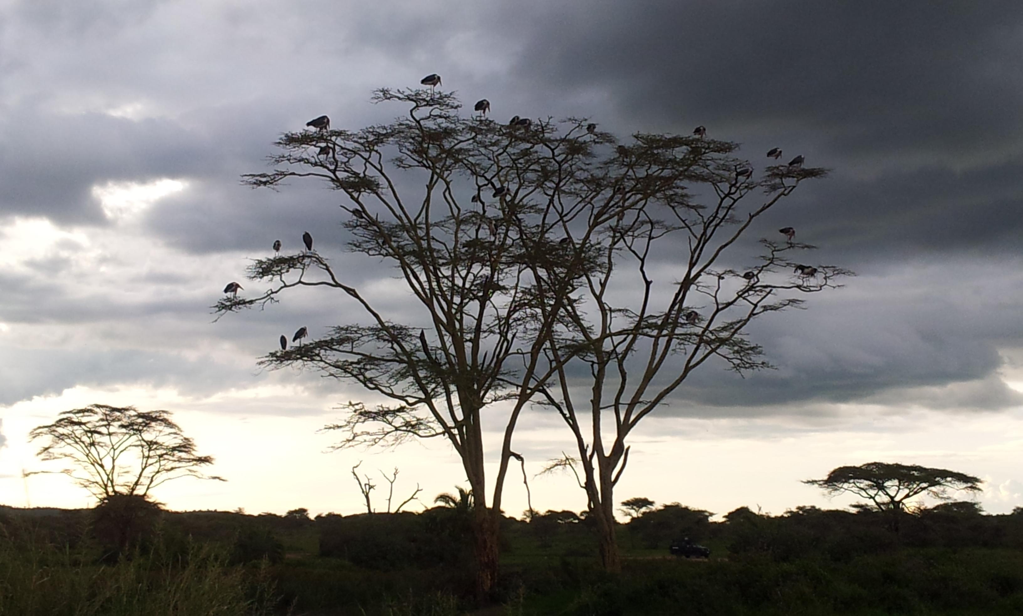 Marabut