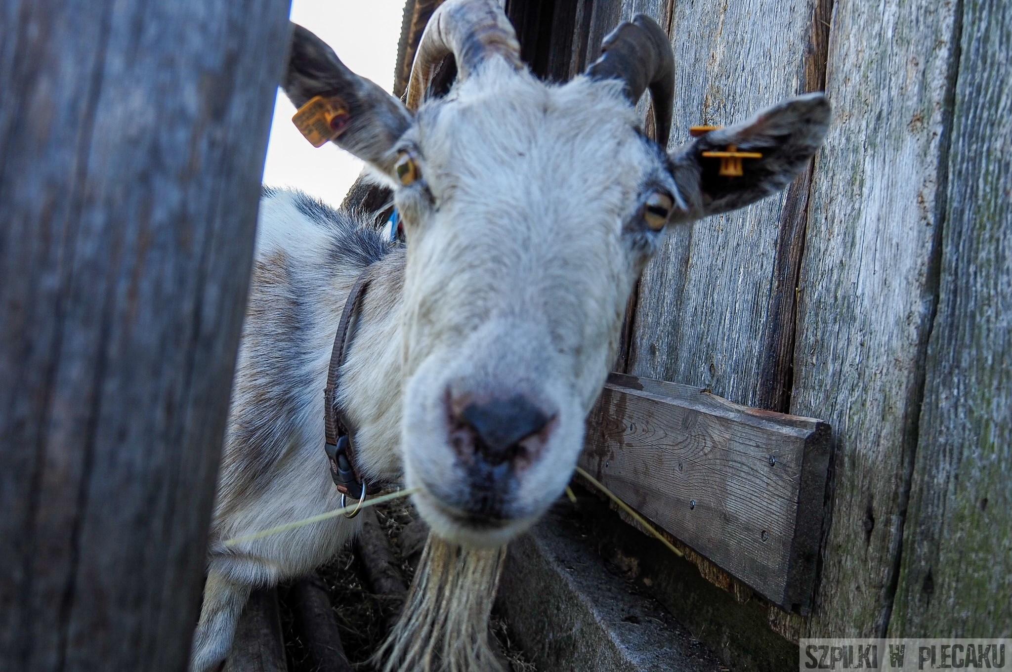 Funny goat - Siedlisko Leluja