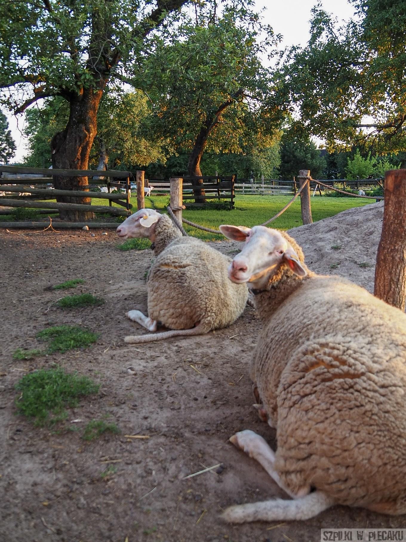 owce - Siedlisko Leluja