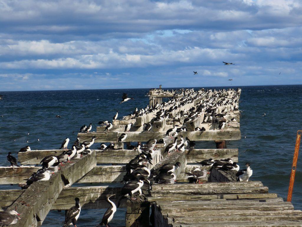 Widokówka z Chile: ptasia kolonia