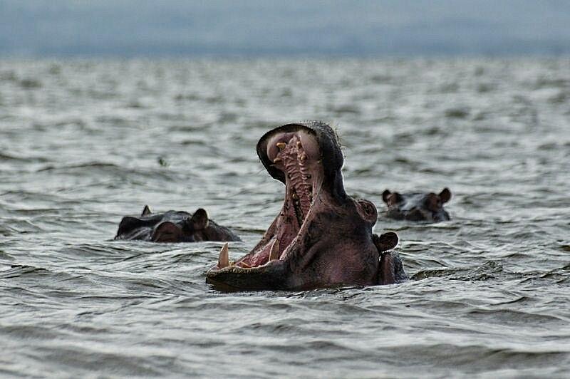 hipopotam naivasha