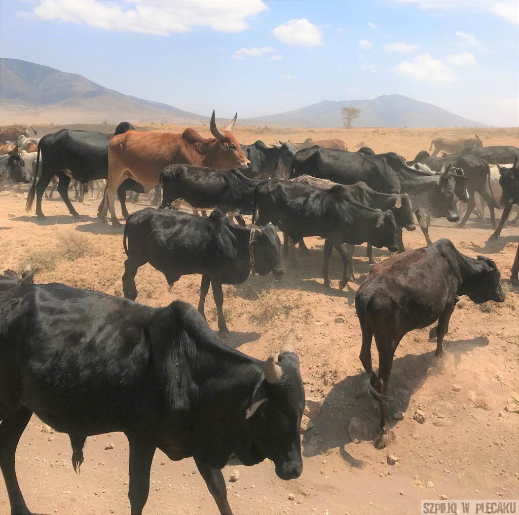 krowy Masajów