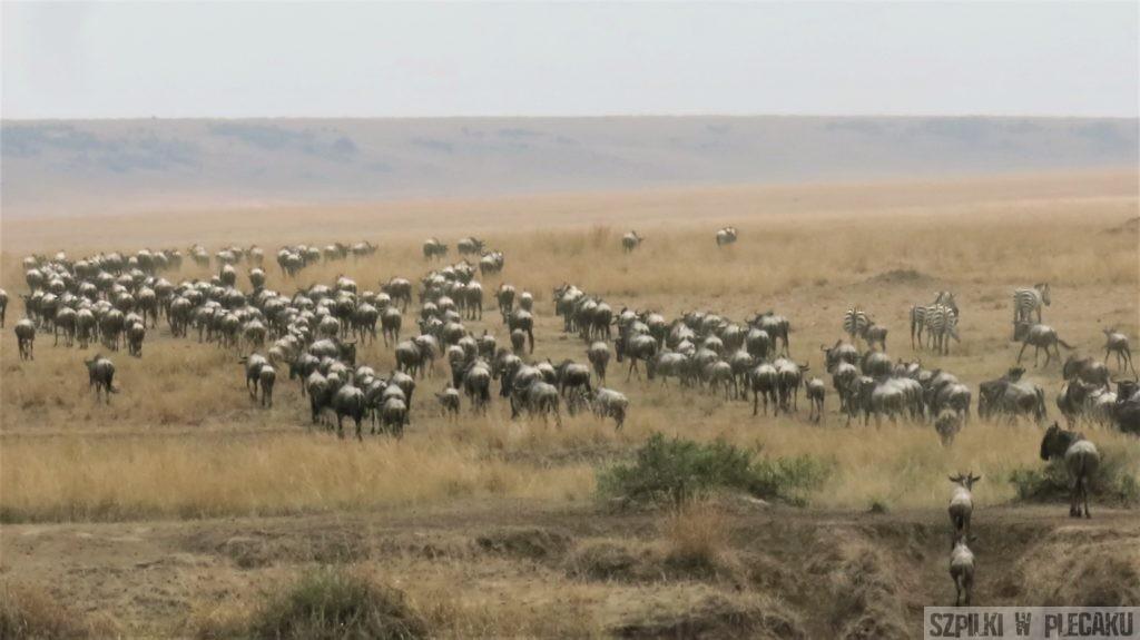 wielka migracja masai mara