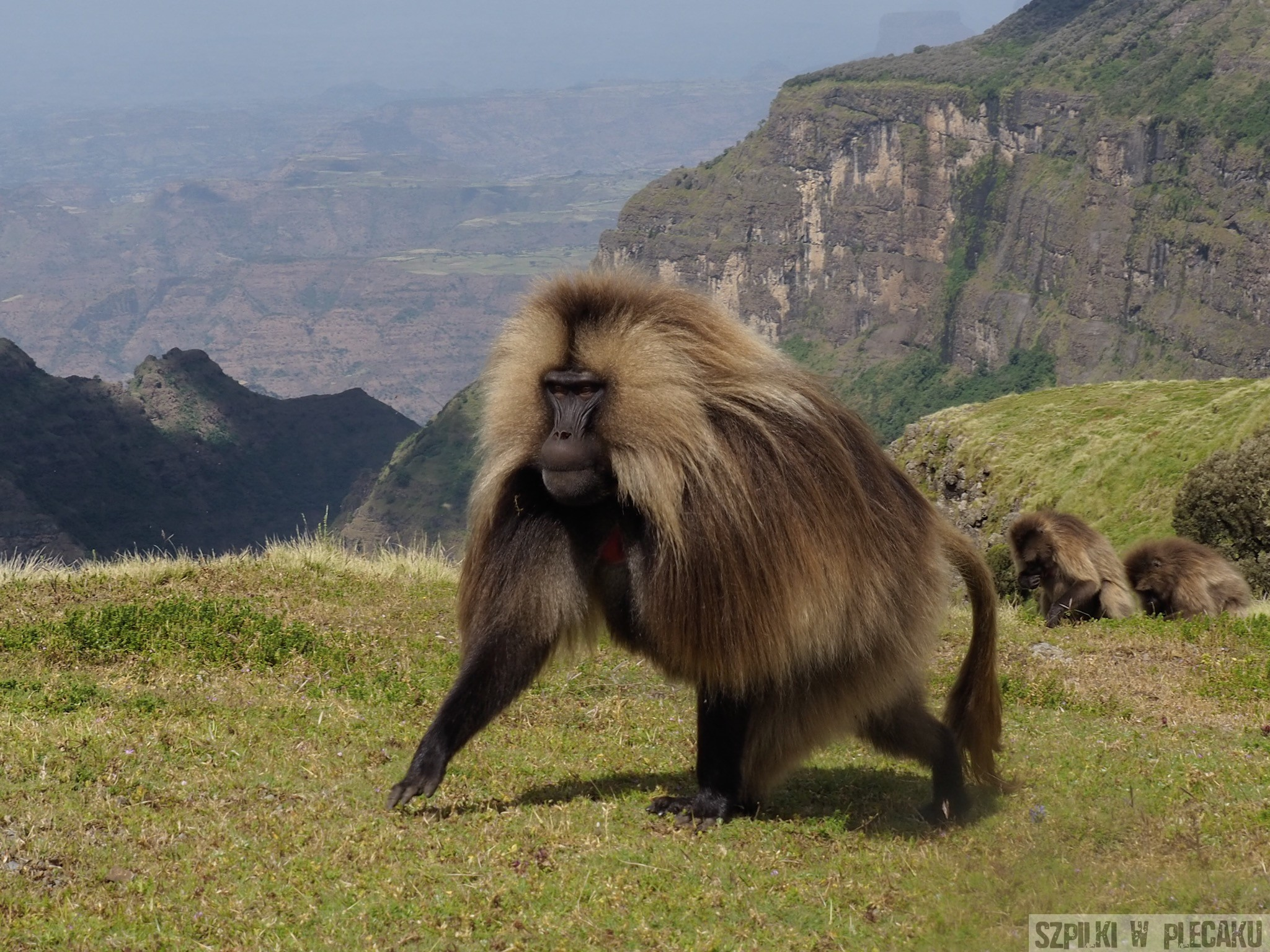 gelada - Simien Mountains