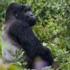 goryl samiec srebrnogrzbiety