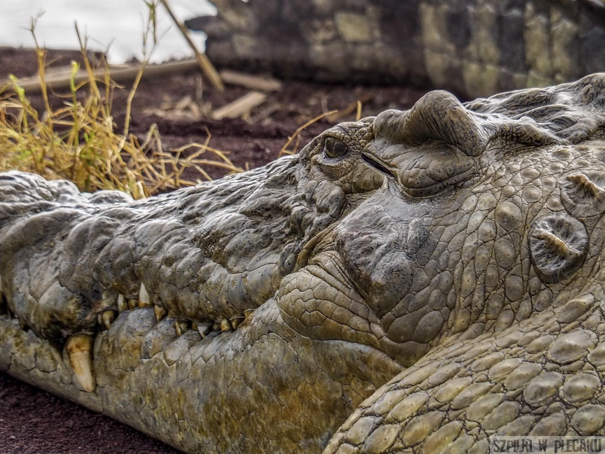 krokodyl - jezioro Czamo