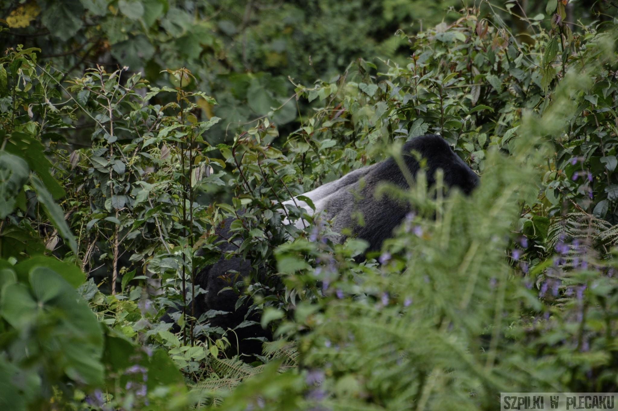 samiec goryla w Bwindi